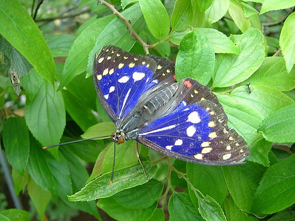 タテハチョウ科オオムラサキの画像