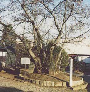 親鸞御手植の菩提樹 (天然記念物・市指定文化財)