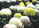 市の花:菊