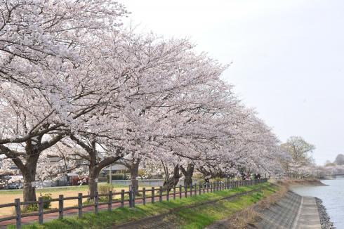 砂沼広域公園の桜