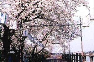 砂沼桜まつり 写真