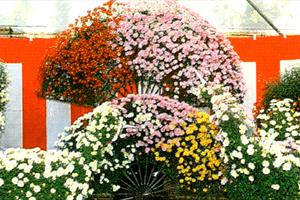 大宝八幡宮菊まつり 写真1
