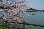 湖岸に咲き誇る