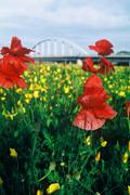 真赤なポピー花の詩