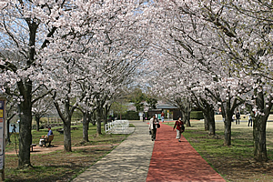 桜 写真1