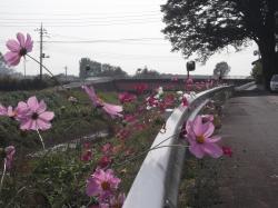 コスモスが咲きました